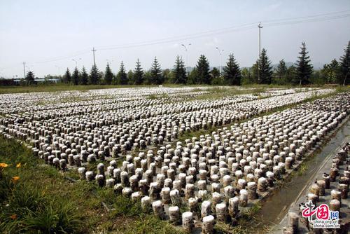 平泉县桲椤树镇高翠环食用菌园区