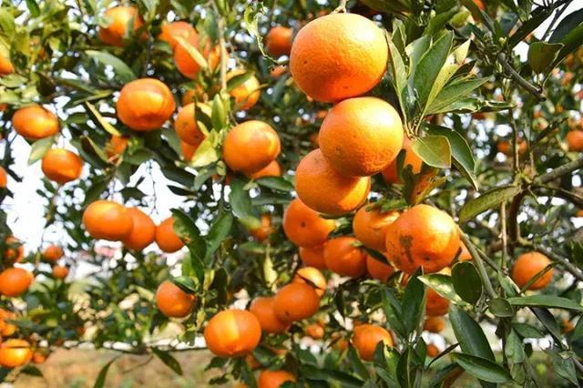 常德特产石门柑橘